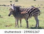 Baby Zebra With It\'s Mother...