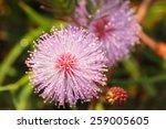 Close Up Pollen Of Pink Flower...