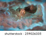 peppermint shrimp   lysmata... | Shutterstock . vector #259026335