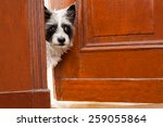 Stock photo terrier dog at the door at home watching the house from behind 259055864