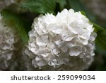 Close Up Of The Guelder Rose...
