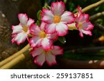 Small photo of Pink Impala Lily Flower (Adenium Multiflorum)