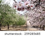 Blooming Almond Trees In The...