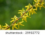 Forsythia flower with green background. Place for text - stock photo