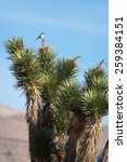 Small photo of A loggerhead shrike (Lanius ludovicianus) perches atop a Joshua tree nearby St. George, Utah.