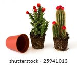 potted cacti with flowers | Shutterstock . vector #25941013