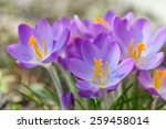 Crocus Flower Head