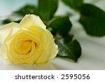 yellow rose | Shutterstock . vector #2595056