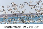 A Large Flock Of Canvasbacks...