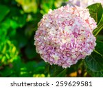 soft focus photo of hydrangea...   Shutterstock . vector #259629581