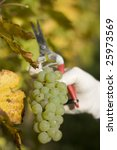 Harvesting a white bunch of grapes - stock photo
