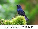 white tailed blue robin ... | Shutterstock . vector #25975459