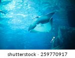 stingray fishes swimming free... | Shutterstock . vector #259770917