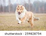 Rough Collie Dog Running In...