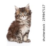 Stock photo portrait small maine coon kitten isolated on white background 259847117