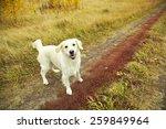 Stock photo young golden retriever for a walk in nature dog breed labrador outdoors 259849964