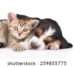 Stock photo frightened kitten lying with basset hound puppy isolated on white background 259855775