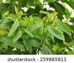 mitragyna speciosa korth ...   Shutterstock . vector #259885811