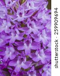 anacamptis pyramidalis flowers... | Shutterstock . vector #259909694