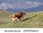 Red And White Longhorn Bull...