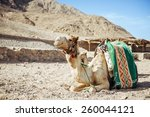 camel sitting in egypt. camel... | Shutterstock . vector #260044121