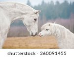 Portrait Of White Horse And...