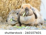 Cute Holland Lop Rabbit Eating...