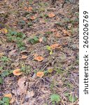 Small photo of Edible Tricholomataceae mushrooms in the autumn forest