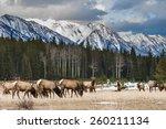 Wild mountain Elk, Banff National Park Alberta Canada - stock photo