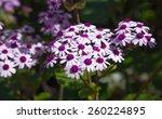 Flowering Pericallis Webbii...