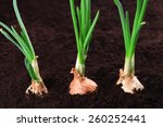 Germinated Onion In Soil Close...