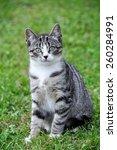 Tabby Kitten In Green Grass