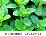 Mint Plant Grown At Vegetable...