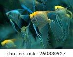 Pack Of Freshwater Angelfish  ...