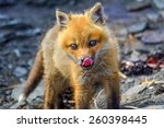 Fox Pup Licking Its Lips After...
