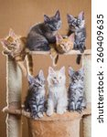 Stock photo maine coon kittens 260409635