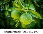 Fresh Green Oranges On Tree