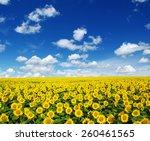 sunflowers field on sky...