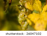 White bunch of grapes between the leaves. Focus on the grapes - stock photo
