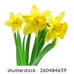 Daffodil Flowers With Clipping...