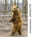 Small photo of European brown bear (Ursus arctos arctos) is standing up