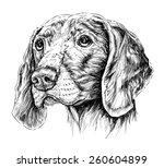 sketch of dog weimar pointer.... | Shutterstock .eps vector #260604899