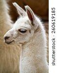 Portrait Of White Andean Llama...
