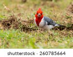 Red Crested Cardinal On Grass...