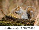 squirrel in the wild | Shutterstock . vector #260791487