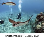 spotted eagle rays  aetobatus... | Shutterstock . vector #26082160