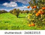 Sunny Morning In Orange Garden...