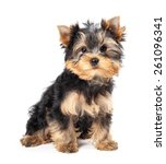 Stock photo yorkshire terrier puppy isolated on white background 261096341
