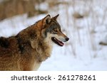 wolf on snow | Shutterstock . vector #261278261