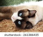 Cat Breed Snowshoe Laying On...